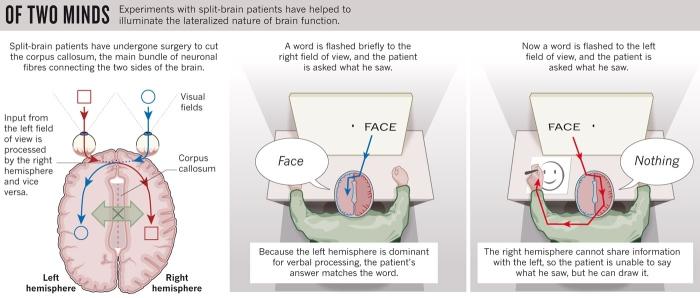 El experimento clásico de Gazzaniga: el paciente no puede decir que ha visto una cara, pero la puede dibujar.
