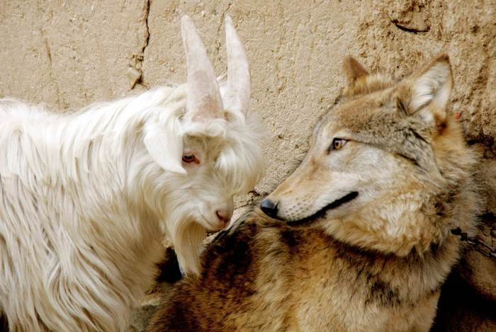 De los lobos cuidando de lasovejas